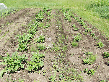 有機ジャガイモの栽培方法 その3~芽かきと土寄せが重要