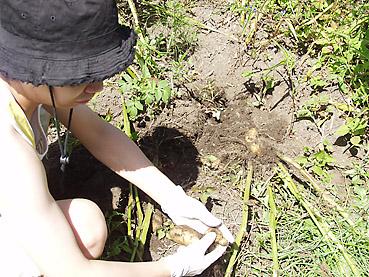 有機ジャガイモの栽培方法 その5~新ジャガの収穫