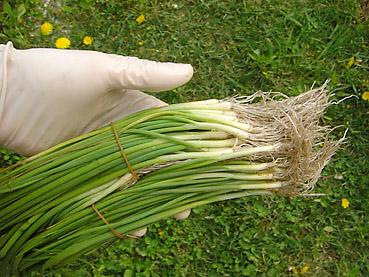 タマネギの電子栽培方法 その2~苗の植え付け方法