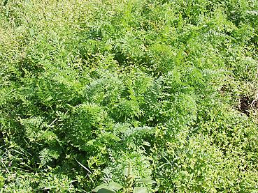 有機ニンジンの栽培方法 その3~発芽と間引き