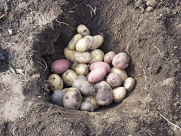 ジャガイモ・ニンジンなど根菜類の長期保存方法