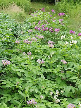 有機ジャガイモの栽培方法 その4~ジャガイモの花を楽しむ