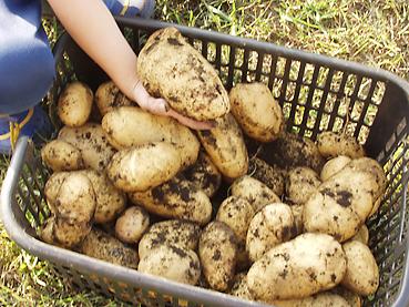 有機ジャガイモの栽培方法 その6~秋の収穫と保存方法