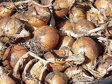 タマネギの電子栽培方法 その4~収穫方法とその時期