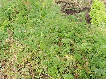 有機ニンジンの栽培方法 その4~収穫