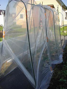 トマトの栽培方法 その2~トマトの苗の植え付けと、苗の保護の方法